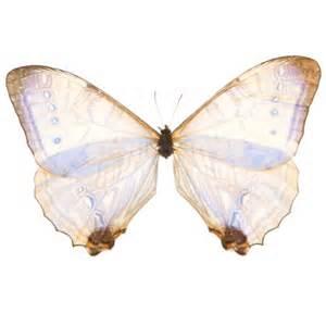 Pearl Morpho Butterfly