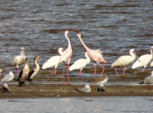 Flamingos and seabirds at the water's edge.